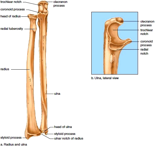 Appendicular Skeleton. Pectoral Girdle. Shoulder Girdle ... Ulna Bone