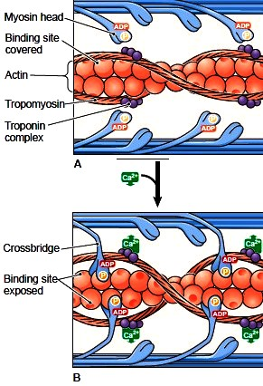Role of calcium in muscle contraction