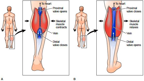 Role of skeletal muscles and valves in blood return