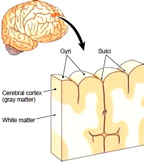 Section of the cerebrum