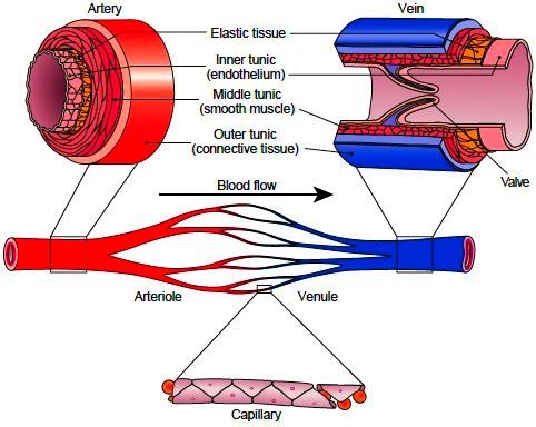 Sections of small blood vessels