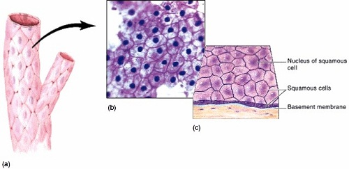 simple squamous epithelium labeled