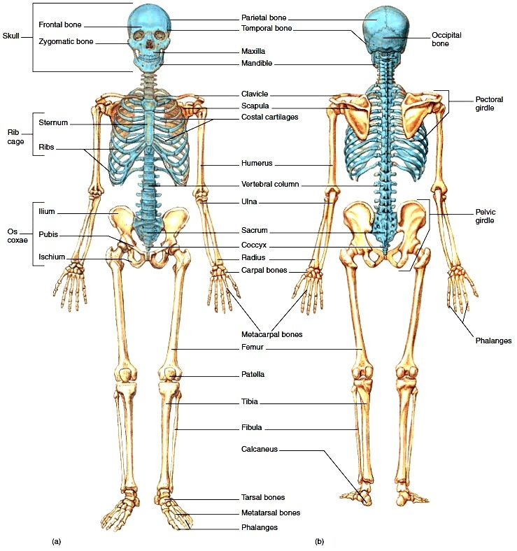 Colorful Human Skeleton Diagram Labeled Diy Enthusiasts Wiring