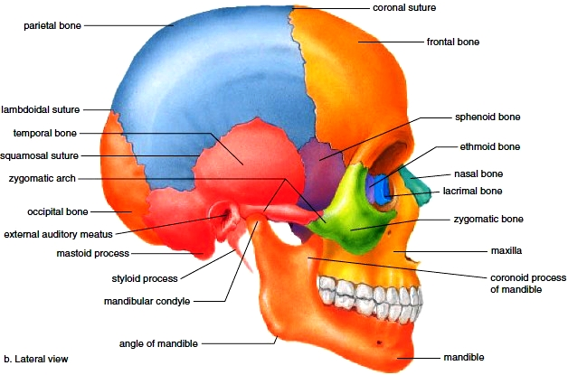 axial skeleton. skull. bones of the cranium. bones of the face, Human Body