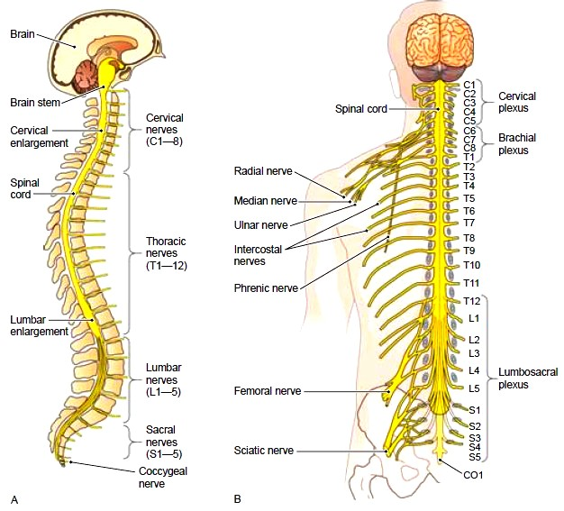 The Spinal Cord Structure Of The Spinal Cord Functions Of The