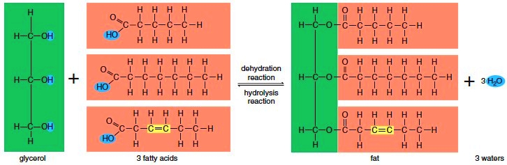 Synthesis and degradation of a fatmolecule