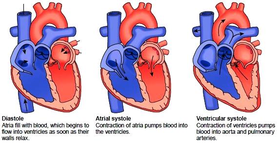 Heart function of the heart the cardiac cycle ccuart Choice Image