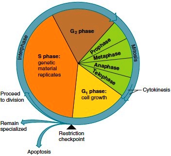 The cell cycle consists of interphase
