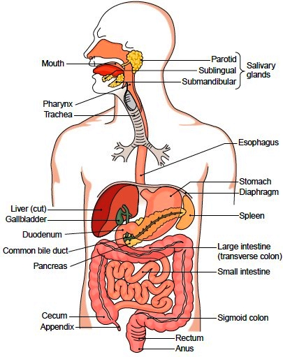 organs of the digestive tract, Human Body
