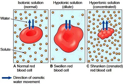 The effect of osmosis on cells