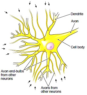 The effects of neurotransmitters on a neuron