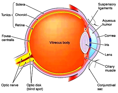 Eyes. Eyes and their functions. Structure of the eyes | 408 x 322 jpeg 86kB