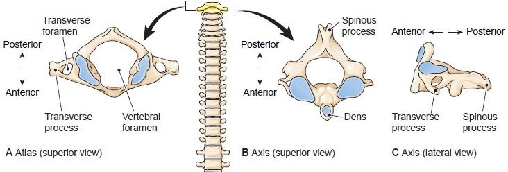 The first two cervical vertebrae