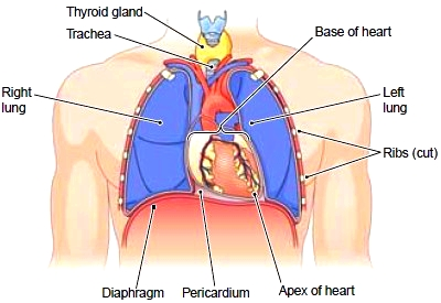 The heart in position in the thorax
