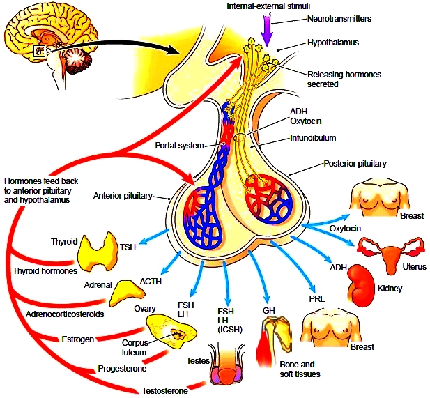 Hormones Of The Pituitary Gland Human Anatomy