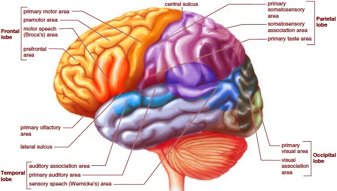 external image The%20lobes%20of%20a%20cerebral%20hemisphere.jpg