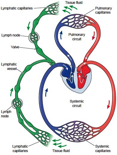 The lymphatic system in relation to the cardiovascular system