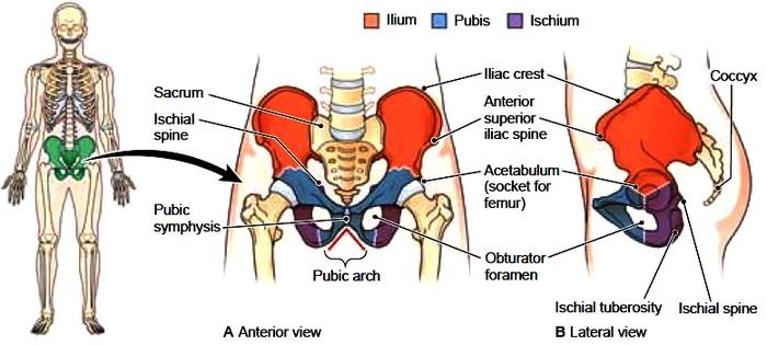 appendicular skeleton. pelvic bones. lower limb bones, Human Body