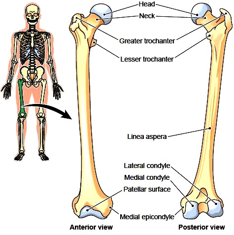 The right femur