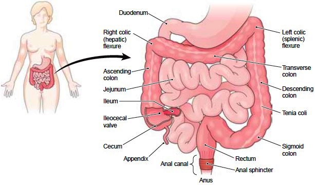 Stomach Functions Of The Stomach Small And Large Intestine