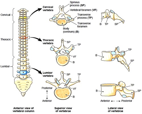 The vertebral column and vertebrae