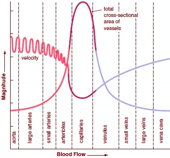 Velocity of blood flow changes throughout the systemic circuit