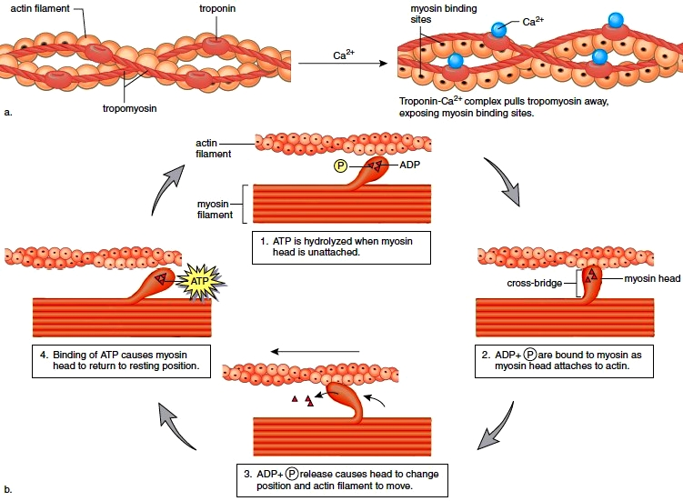 Steps Of A Muscle Contraction