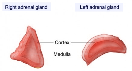 Left and right adrenal gland