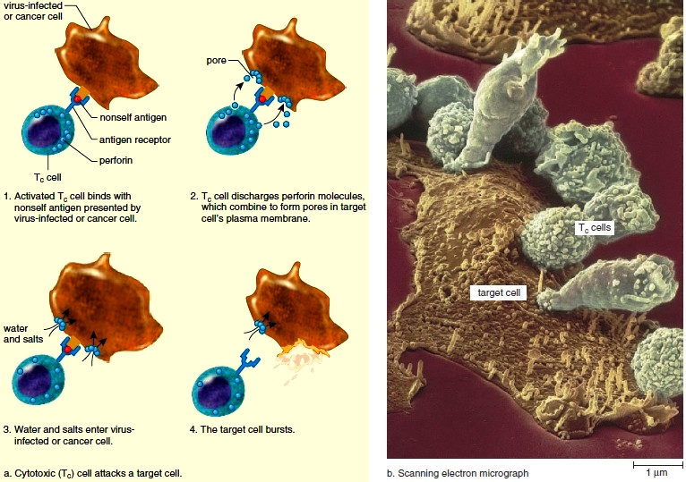 Cell mediated immunity