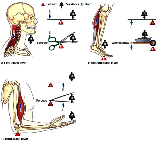 The Mechanics of Muscle Movement. Levers and Body Mechanics