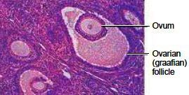 Microscopic view of the ovary