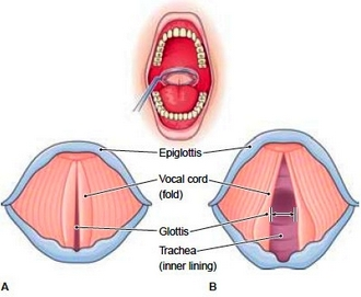 The vocal cords, superior view