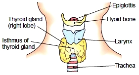 Thyroid gland (anterior view)